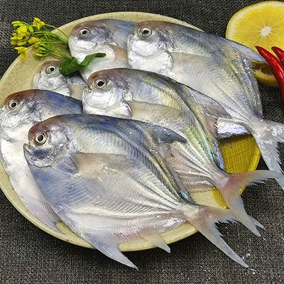 小银鲳东海鲳鱼野生银鲳鱼鲜活白鲳鱼海鲳鱼平鱼新鲜海鲜30%包冰