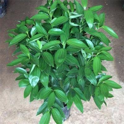 热销特价平安树盆栽室内客厅绿植花卉幸福树配送净化空气吸甲醛