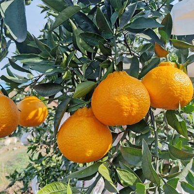 【现货速发】丑橘不知火5/10斤新鲜水果耙耙柑丑八怪橘子整箱批发