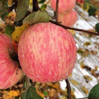 精品陕西冰糖心红富士丑苹果当季新鲜水果5/10斤果园整箱批发包邮