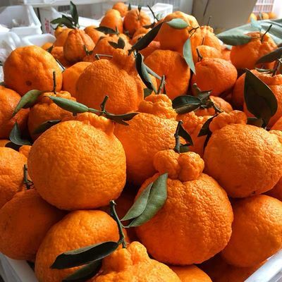 【精选大果 】四川不知火丑橘丑八怪橘子桔子新鲜水果一整箱批发