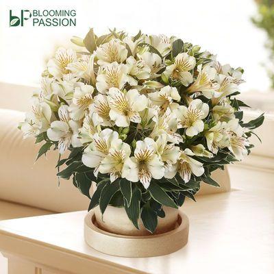 BP花卉六出花16CM盆栽阳台庭院带盆栽好春季开花秘鲁水仙百合好养