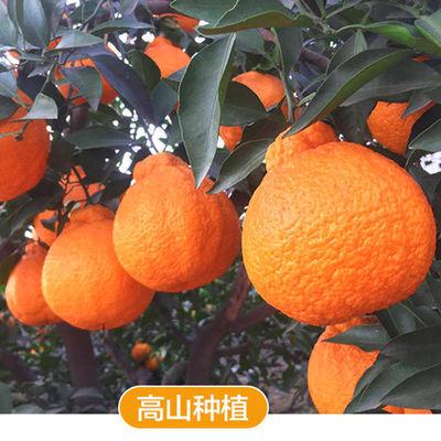 【品质精选】四川丑橘不知火丑八怪橘子新鲜水果丑桔子丑柑橘多选