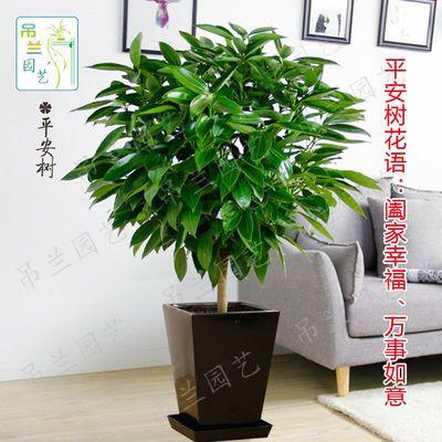 新品特价平安树盆栽室内客厅绿植花卉幸福树配送净化空气吸甲醛