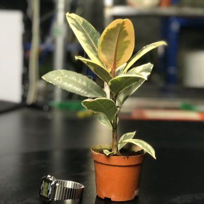 花绿黑金刚橡皮树盆景绿植盆栽花卉净化空气室内彩叶观叶绿色植物