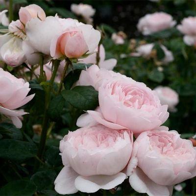 瑞典女王月季花苗大苗大花浓香灌木四季开花不断带花苞发货