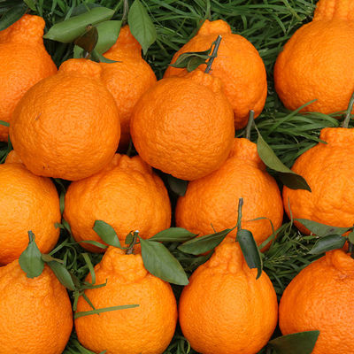 四川不知火丑橘脆甜不上火丑柑孕妇水果丑八怪(65-120mm)多规格