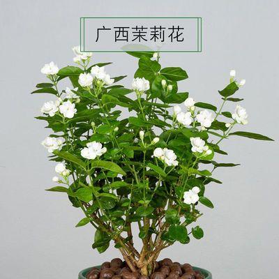 茉莉花盆栽 当年开花室内盆栽驱蚊盆栽植物室内花卉好养茉莉花苗