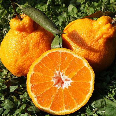 四川丑橘不知火丑八怪橘子当季新鲜丑桔子水果2/5/10斤批发整箱