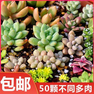 多肉 多肉植物50颗 玉露 红宝石 吉娃娃 观音莲花卉 新手必备套餐