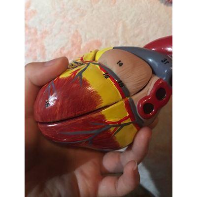 高档人体模型医学1:1标准心脏模型解剖可拆卸教学模型自然大心脏