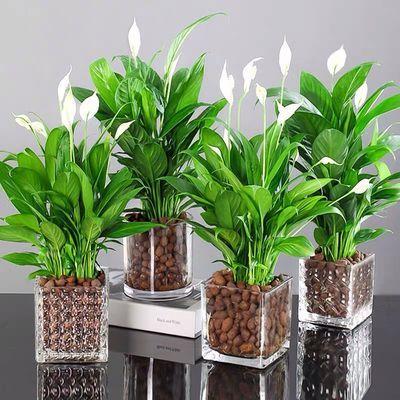 红掌白掌花卉绿植盆栽水培植物室内好养四季开花免浇水一帆风顺