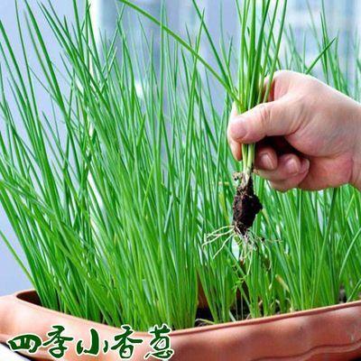 小香葱种子四季四季播种盆栽蔬菜种籽青菜小葱种籽种孑阳台盆栽春
