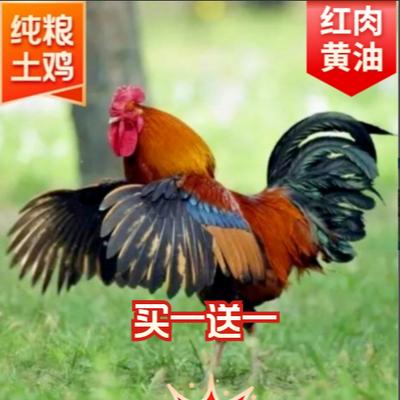 【高品质纯粮真土鸡】散养公鸡散养土鸡农家土鸡大公鸡土公鸡整鸡