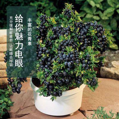 带果发货蓝莓果树苗 奥尼尔夏普蓝薄雾珠宝甜蜜蜜 庭院阳台盆栽苗