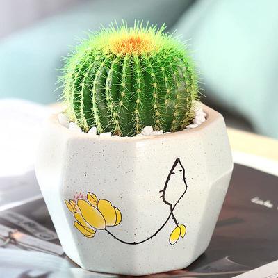 多肉植物仙人掌类开花仙人球小盆栽防辐射电脑办公室桌面花卉绿植