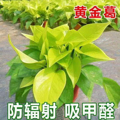 绿萝盆栽水培植物绿植盆栽室内 好养防辐射植物盆栽净化空气盆栽