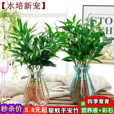 竹柏盆栽四季常青好养的绿植花卉水培花卉净化空气