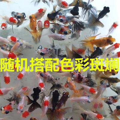可选顺丰观赏鱼金鱼鸿运当头鹤顶红红鎏金黑龙睛兰寿花寿精品金鱼