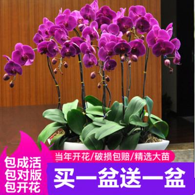 【买一送一】精品大花蝴蝶兰花苗室内盆栽绿植花卉植物四季开花