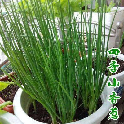 四季小香葱种子 嫩绿小葱 四季播种葱籽庭院阳台盆栽农家蔬菜种子