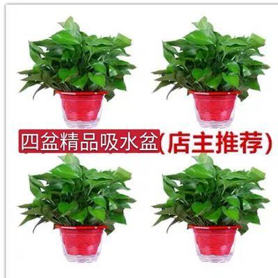 绿萝盆栽室内吸除甲醛净化空气长藤垂吊绿植花卉水培吊兰植物绿萝