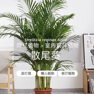 散尾葵室内盆栽客厅吸甲醛绿植夏威夷竹子大型植物凤尾竹富贵叶