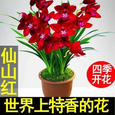 矮种浓香兰花香妃大花蕙建兰四季兰盆栽兰花苗室内花卉绿植物好养