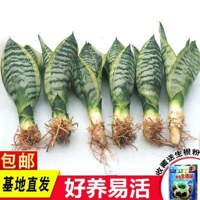 金边虎皮兰新房吸甲醛多肉植物防辐射室内花卉绿植盆栽高矮虎尾兰