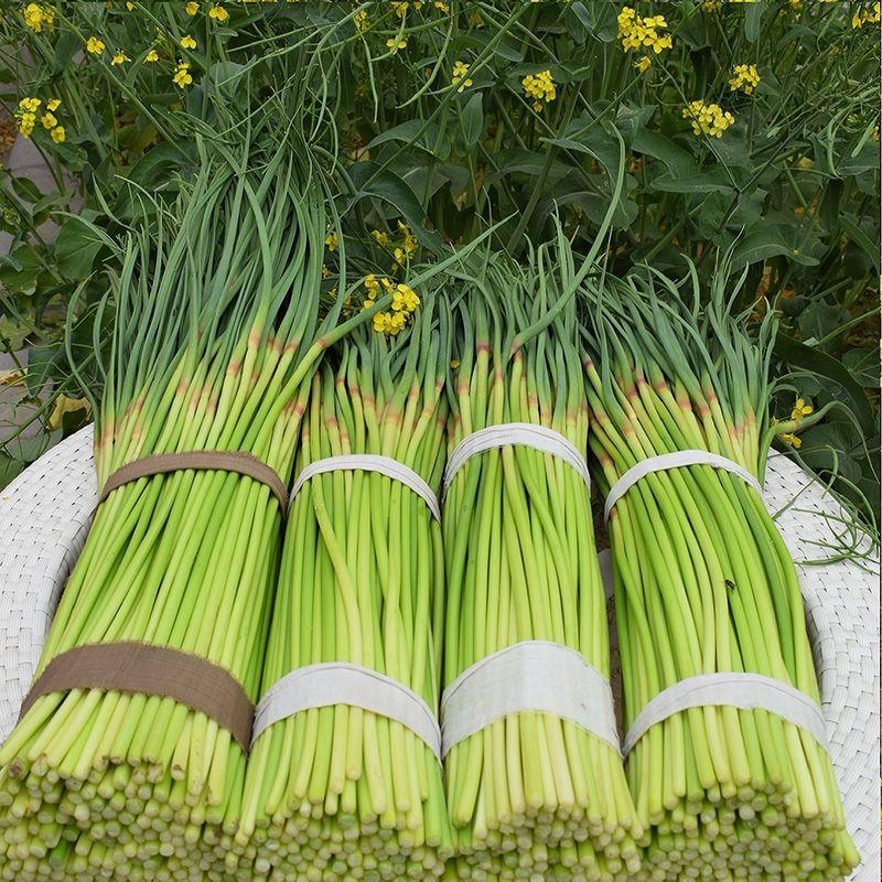 山东金乡新鲜蒜苔当季蔬菜农家自种蒜薹蒜毫青蒜苗批发5斤10斤