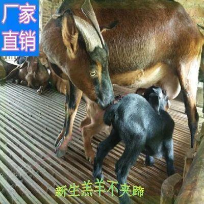 竹羊床竹制羊舍设备竹片子羊圈板大型漏粪板漏缝板养羊用的模具
