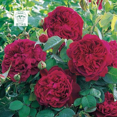 阳台攀援花卉威廉莎士比亚月季 玫瑰花浓香四季开花盆栽月季