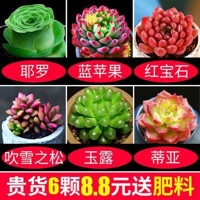 多肉植物盆栽花卉好养室内新款肉肉植物大颗老桩玉露桃蛋特价清仓