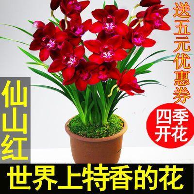 【兰花盆栽】浓香型兰花盆栽建兰墨兰惠兰春四季开花室内盆景花卉