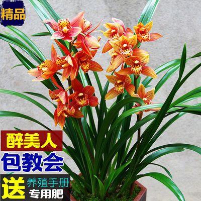 (只限今天500件)浓香型兰花室内绿植花卉盆栽墨兰建兰杂交兰