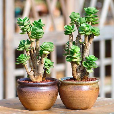 金钱木老桩多肉植物带盆栽好新款组合盆栽办公室内防辐射绿植盆景