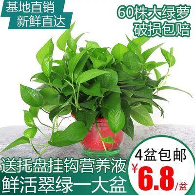 绿萝盆栽植物花卉水培盆景观花绿植室内吸甲醛净化空气大绿箩包邮