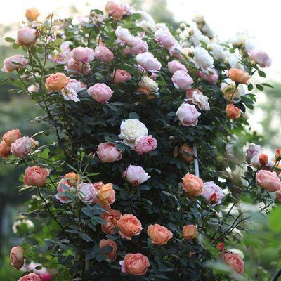 藤本月季小苗爬藤植物庭院绿植盆栽花卉蔷薇四季开花浓香 一组3颗