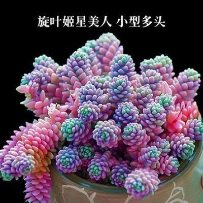 贵货多肉植物组合盆栽欧紫法师新款超萌多肉办公室内花卉含盆含土