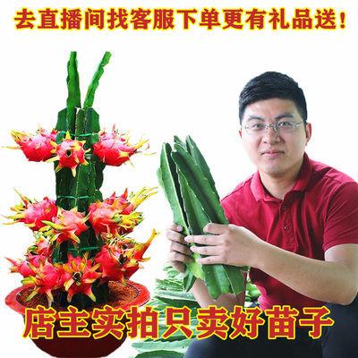 红心白心红肉火龙果水果树苗盆栽南北方种植多肉植物嫁接花卉室内