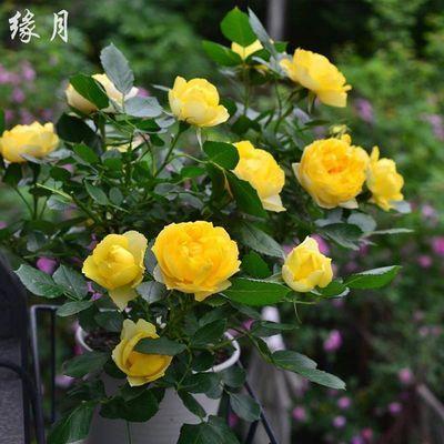 欧月果汁阳台灌木微型月季蔷薇花苗浓香庭院阳台四季开花玫瑰盆栽