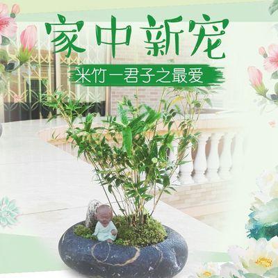 米竹盆景植物室内微景观米竹苗盆景竹子凤尾竹观音竹小型米竹盆栽