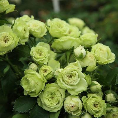 欧洲月季薇月灌木藤本月季花苗大花浓香院栽绿植四季开花盆栽欧月