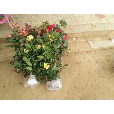 正宗玫瑰月季带花苞发货灌木特大大花盆栽庭院月季苗香味玫瑰花苗