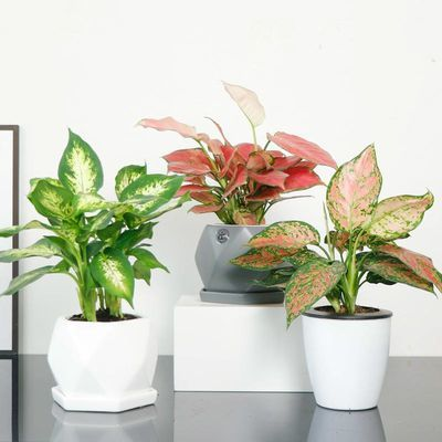万年青植物盆栽办公室黑金刚净化空气绿植花卉银皇后观叶植物室内