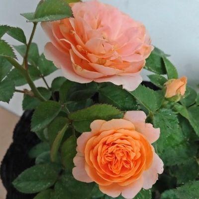 果汁阳台月季花苗盆栽灌木四季开花欧月月季