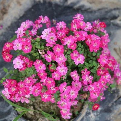 1年的中小苗欧月灌木月季花苗玫瑰花卉盆栽植物四季开花阳台热卖