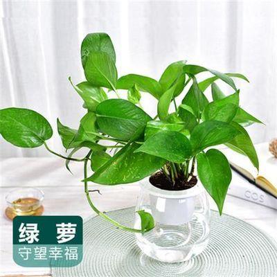 绿萝金钻发财树文竹绿色植物懒人自吸水花卉小盆栽办公室内客厅