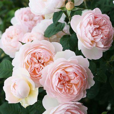 买3送1欧洲月季花苗小苗带花蕾灌木月季花苗四季开花盆栽绿植花卉