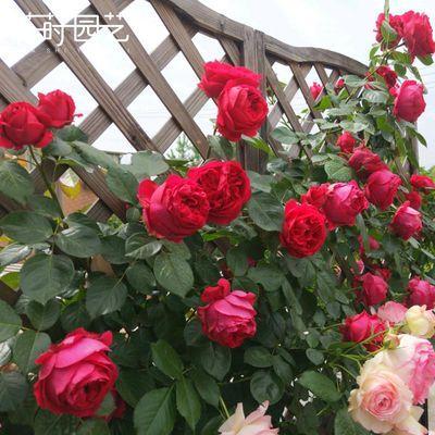 花莳园艺藤本月季花苗红粉色龙沙宝石爬藤盆栽花卉玫瑰绿植物灌木